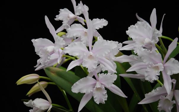 Фото обои белые, орхидеи, экзотика