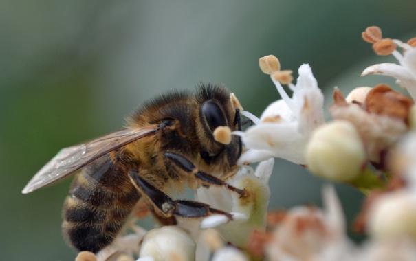 Фото обои макро, цветы, природа, пчела, насекомое
