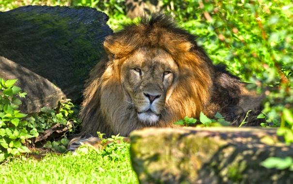 Фото обои кошка, трава, морда, тень, лев