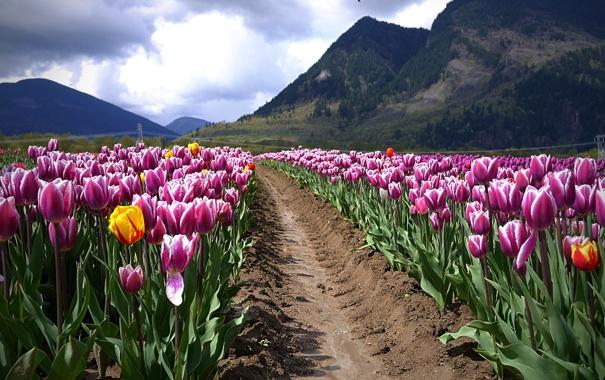 Фото обои поле, пейзаж, горы, тюльпаны