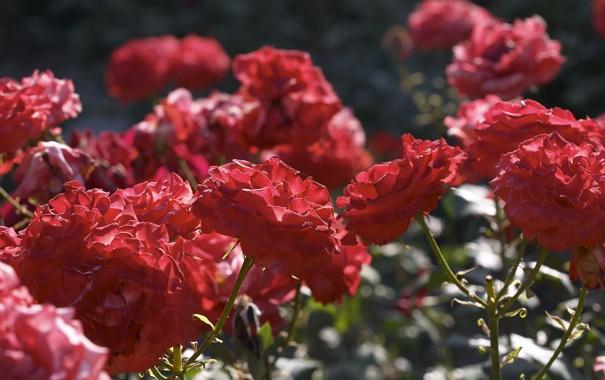 Фото обои свет, цветы, блики, стебли, розы, лепестки, красные