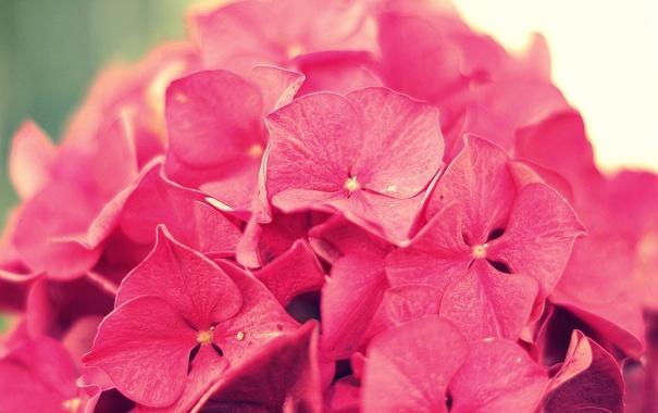 Фото обои цветок, макро, розовая, гортензия, соцветие