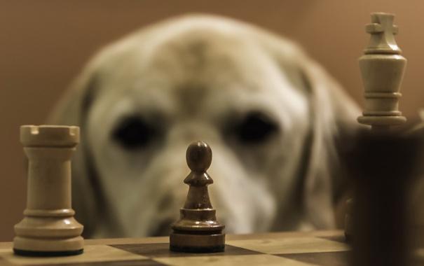 Фото обои друг, собака, шахматы