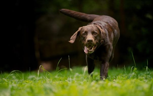 Фото обои собака, поле, лето
