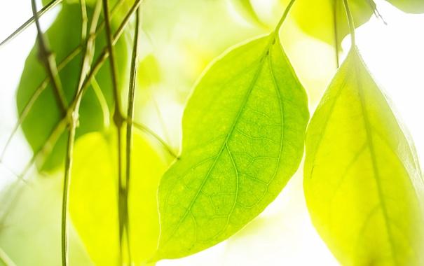 Фото обои зелень, листья, природа