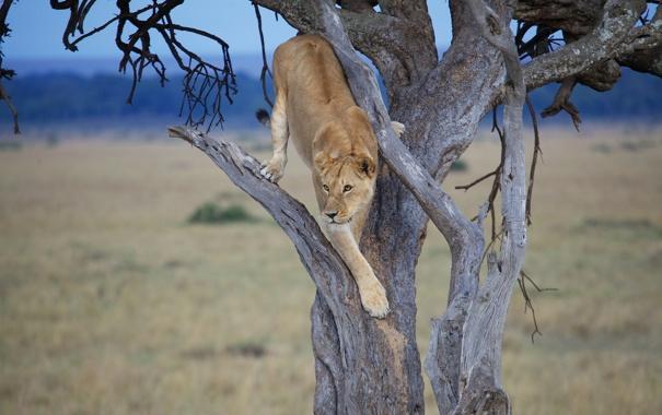 Фото обои дерево, львица, дикая кошка