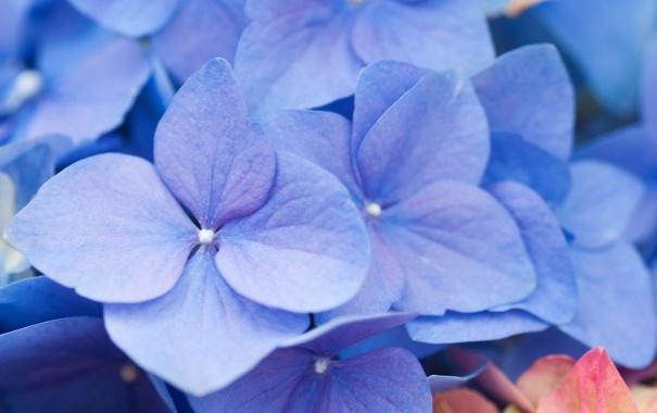 Фото обои цветок, соцветия, сиреневые, гортензия