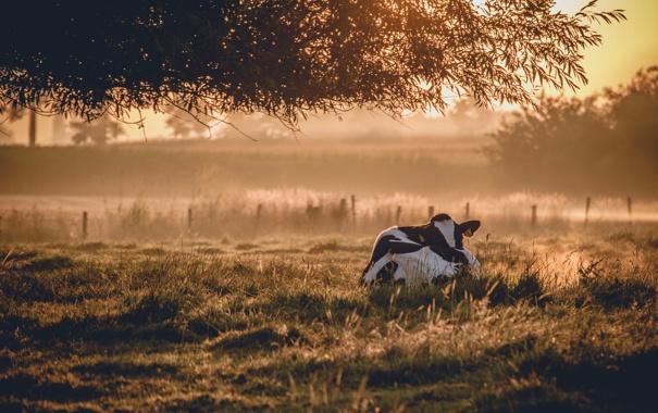 Фото обои туман, корова, утро