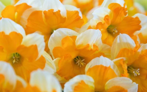 Фото обои макро, цветы, Oranje boven
