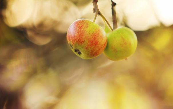 Фото обои осень, природа, яблоки