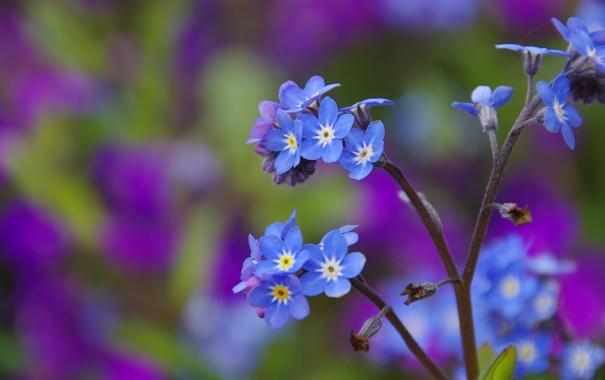 Фото обои макро, природа, стебель, цветочки, синие