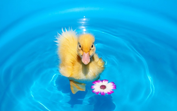 Фото обои pet, duck, first swim, animal