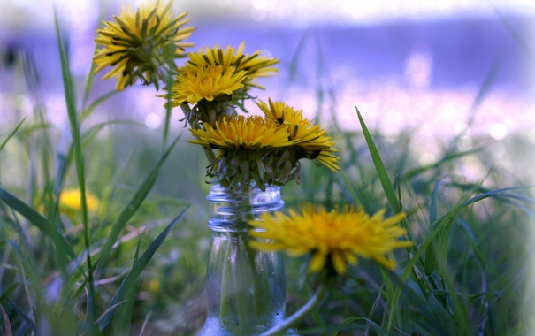 Фото обои grass, flowers, dandelions, bokeh, bottle