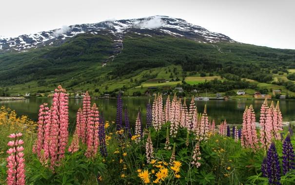 Фото обои цветы, горы, берег, Норвегия, залив, фьорд, люпин
