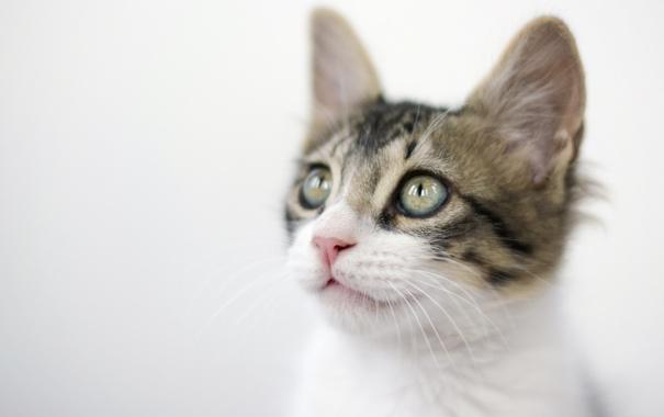 Фото обои кошка, котенок, мордочка, светлый фон