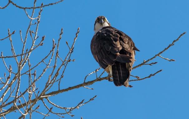 Фото обои орёл, птица, небо