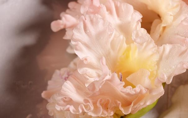 Фото обои розовый, цветок, гладиолус, роса, капли, макро