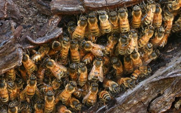 Фото обои насекомые, гнездо, дикие пчёлы