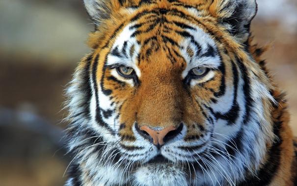 Фото обои морда, полоски, тигр, амурский