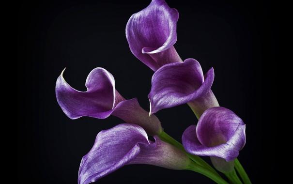 Фото обои цветы, фиолетовые, черный фон, блестящие, каллы