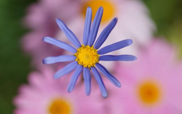 Фото обои цветок, цветы, сиреневый, фокус, размытость, розовое, хризантема