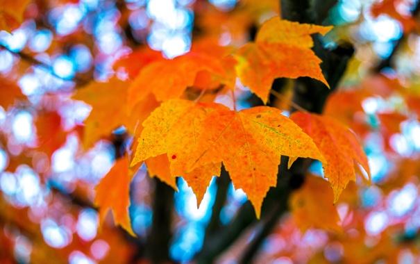 Фото обои осень, листья, макро, клен
