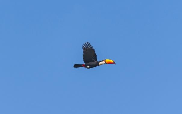 Фото обои небо, птица, toucan