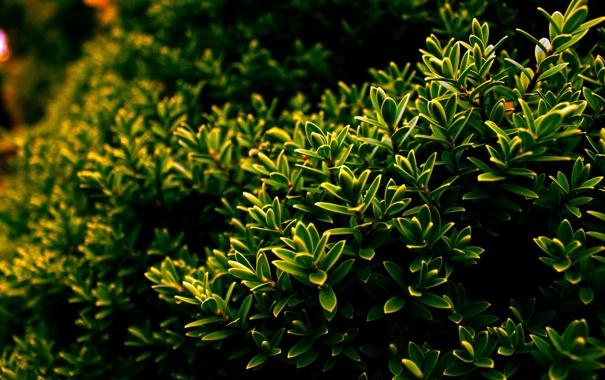 Фото обои зелень, листья, куст, Природа, листочки, nature, кустарник