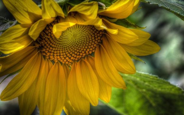 Фото обои цветок, желтый, HDR, подсолнух