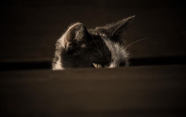 Фото обои кот, взгляд, кошак, котяра, подглядывает
