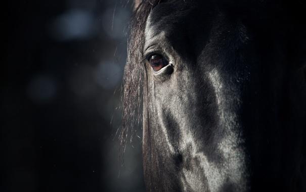Фото обои морда, глаз, фон, животное, Лошадь, грива