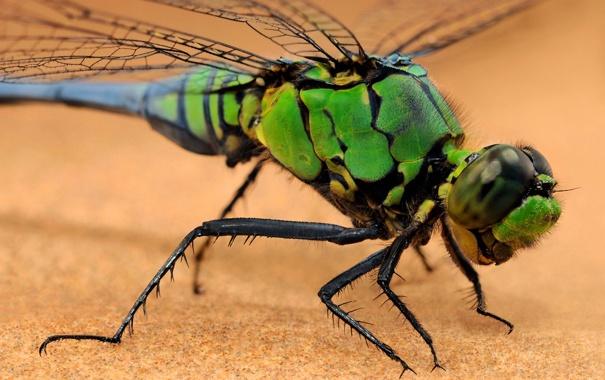 Фото обои крылья, стрекоза, насекомое