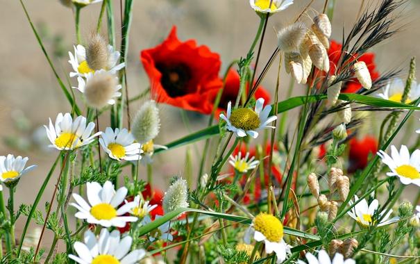 Фото обои поле, трава, мак, ромашка, луг