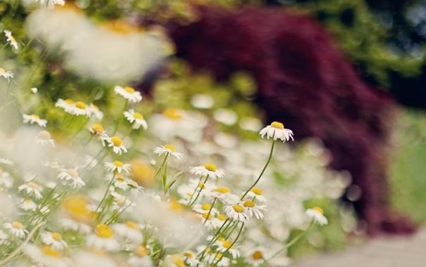 Фото обои лето, макро, цветы, природа, ромашки, размытость, боке