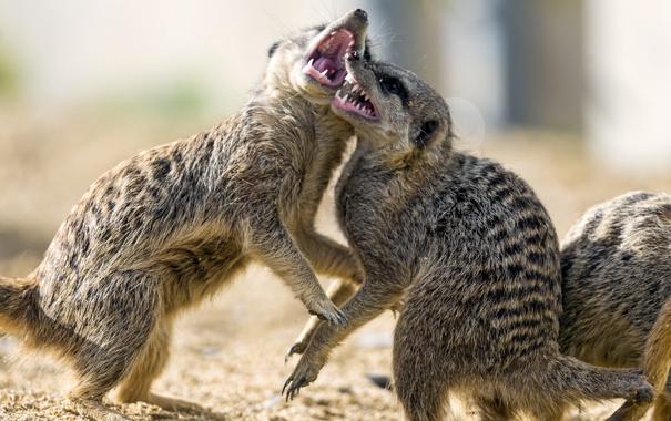 Фото обои песок, сурикаты, драка, пара, ©Tambako The Jaguar