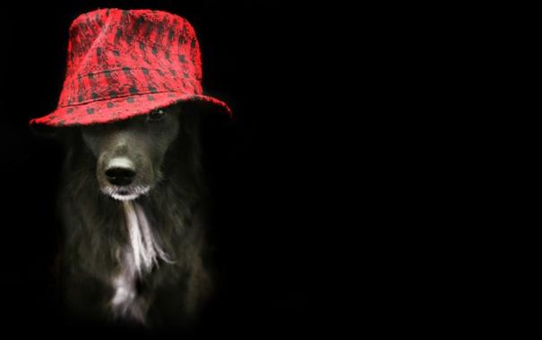 Фото обои взгляд, друг, собака, шляпа