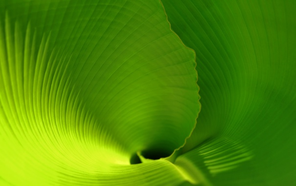 Фото обои тропики, скрученный лист, пальмовый лист, banana leaf, лист банана, leaf, зеленый лист