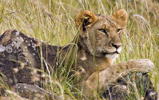 Фото обои Лев, детеныш, львенок