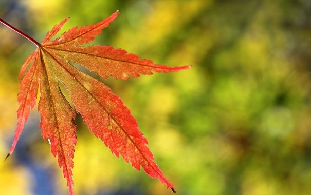 Фото обои осень, макро, лист, клен, резной