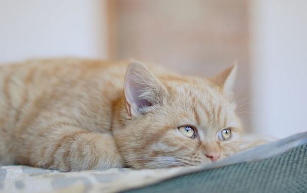 Фото обои кот, взгляд, рыжий, уши, ушки