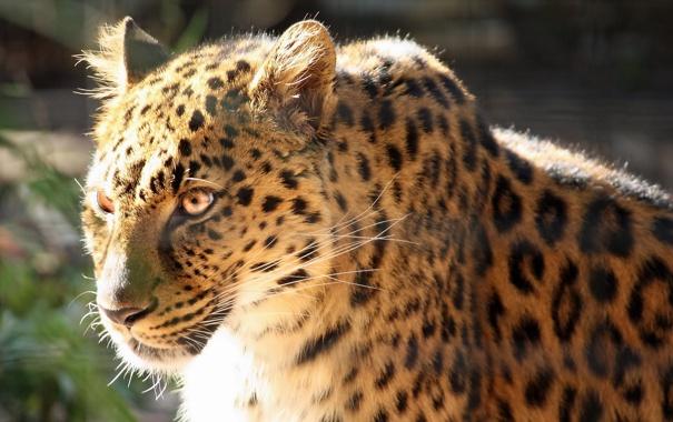Фото обои фотошоп, хищник, леопард, профиль