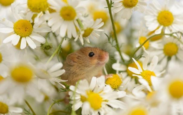 Фото обои цветы, ромашки, Мышь-малютка