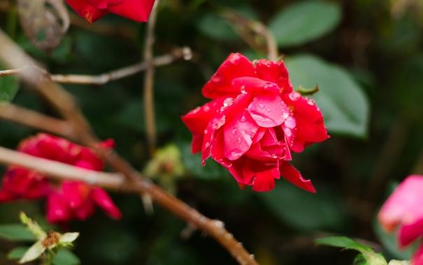 Фото обои цветок, роза, куст