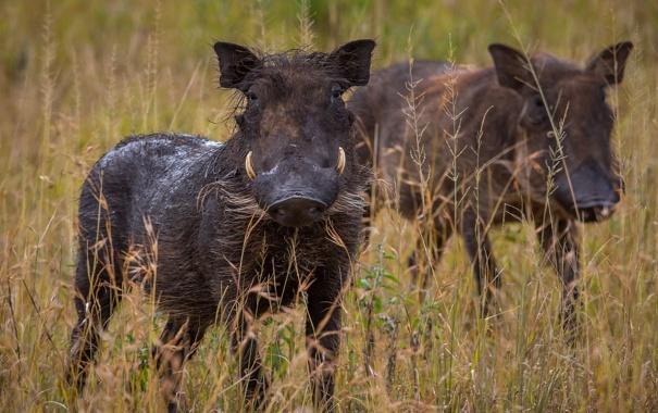 Фото обои pigs, Warthog, Phacochoerus africanus
