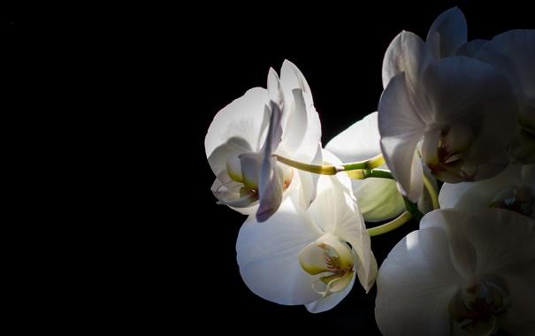 Фото обои природа, цветок, orquidea, макро