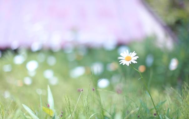 Фото обои зелень, трава, природа, поляна, весна, ромашка
