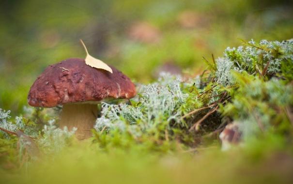 Фото обои осень, лес, лист, грибборовик
