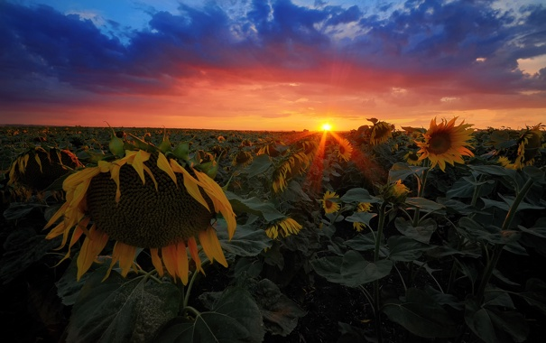 Фото обои поле, лето, солнце, лучи, подсолнухи, закат, вечер