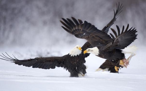 Фото обои животные, снег, птицы, рыба, орлы