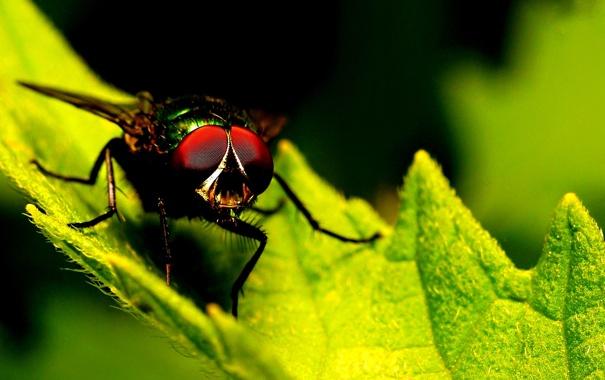 Фото обои green, fly, leaf, insect